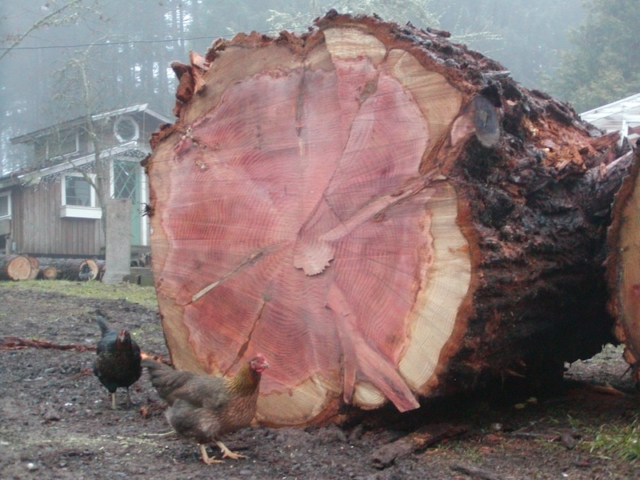 5 ft diameter redwood log
