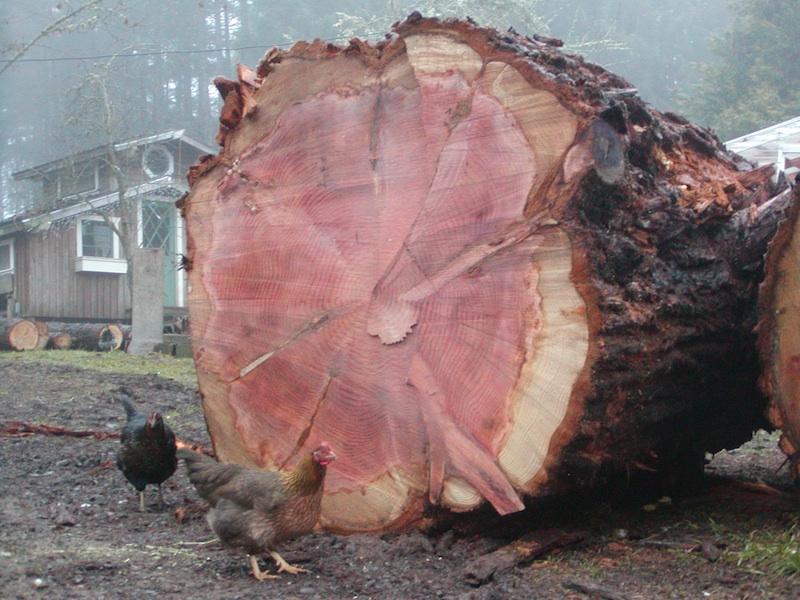 5 ft diameter redwood log